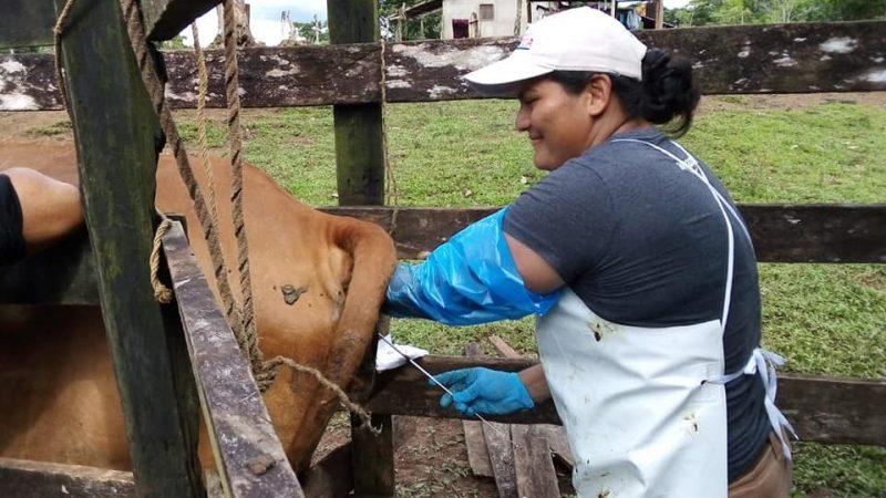 Avanza programa de inseminación artificial bovina Managua. Radio La Primerísima