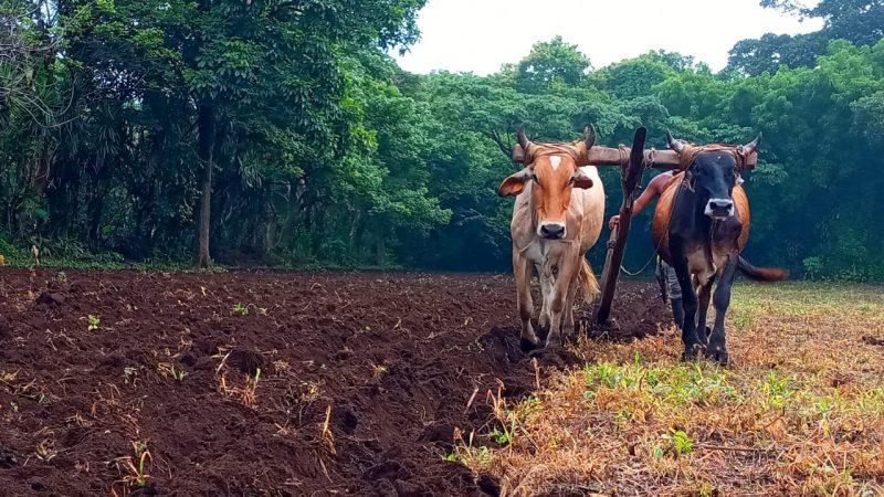 Productores de Carazo esperan buena cosecha de postrera Managua. Por Manuel Aguilar/Radio La Primerísima