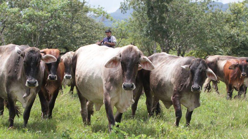 Nicaragua exportará ganado bovino en pie hacia México a partir de noviembre Managua. Radio La Primerísima