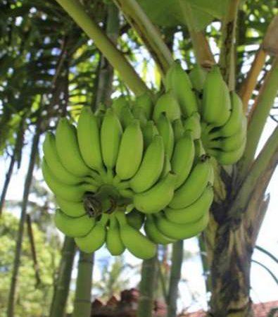 Exportaciones de plátano generan 40 millones de dólares Managua. Radio La Primerísima