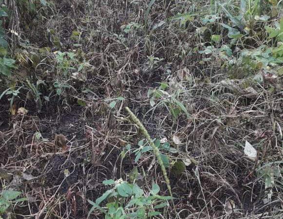 Reportan pérdida de cultivo de frijoles en comunidad de San Dionisio, Matagalpa Managua. Por Jaime Mejía/Radio La Primerísima