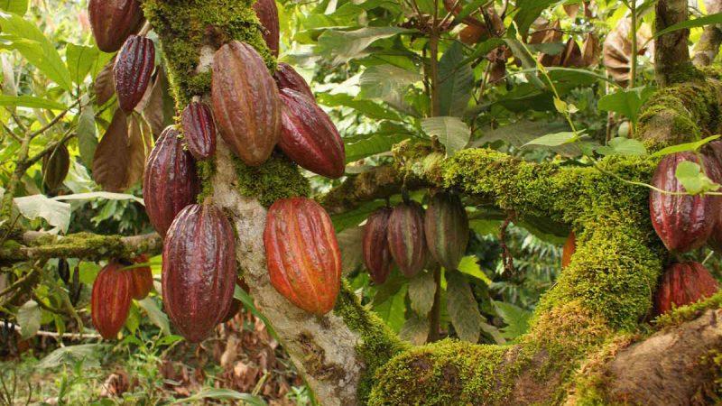 INTA espera récord en producción de cacao Managua. Por Jaime Mejía/Radio La Primerísima