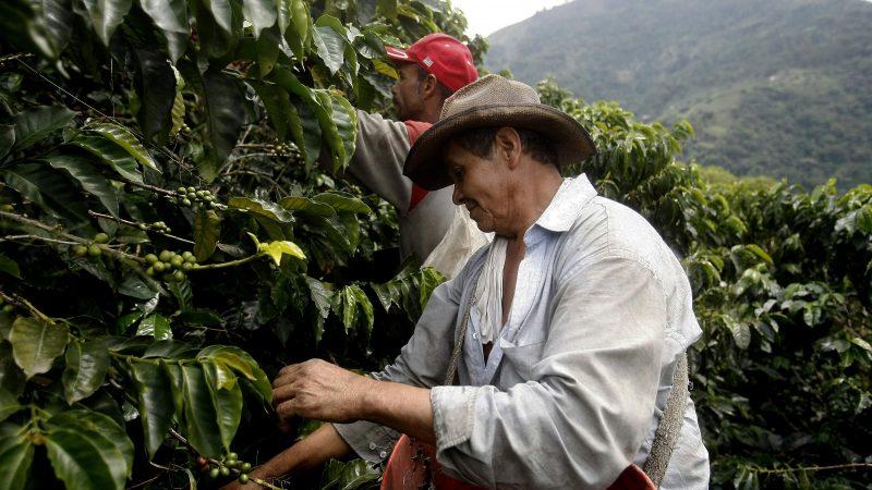 Caficultores de la Paz Centro listos para cosecha Managua. Por Jaime Mejía/Radio La Primerísima