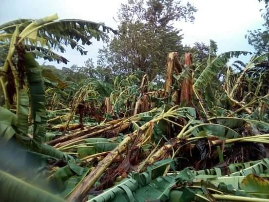 Fuertes vientos y lluvias afectan cultivos de plátano en Moyogalpa Managua. Por Douglas Midence/Radio La Primerísima