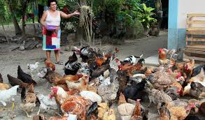 Crecen emprendimientos de crianza de gallinas y pollos Managua. Por Jaime Mejía/Radio La Primerísima