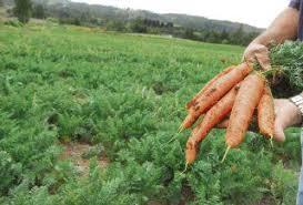 Lluvias acabaron con cosecha de zanahoria en una comunidad de Jinotega Managua. Por Jaime Mejía/Radio La Primerísima