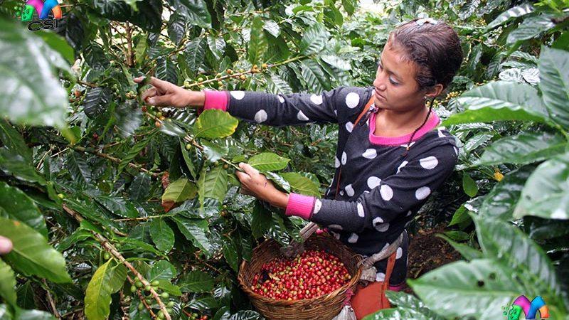 Todo listo para cortes de café en una finca de Mozonte Managua. Por Jaime Mejía/Radio La Primerísima