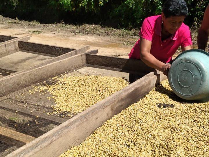 Avanza cosecha cafetalera en San Juan de Río Coco