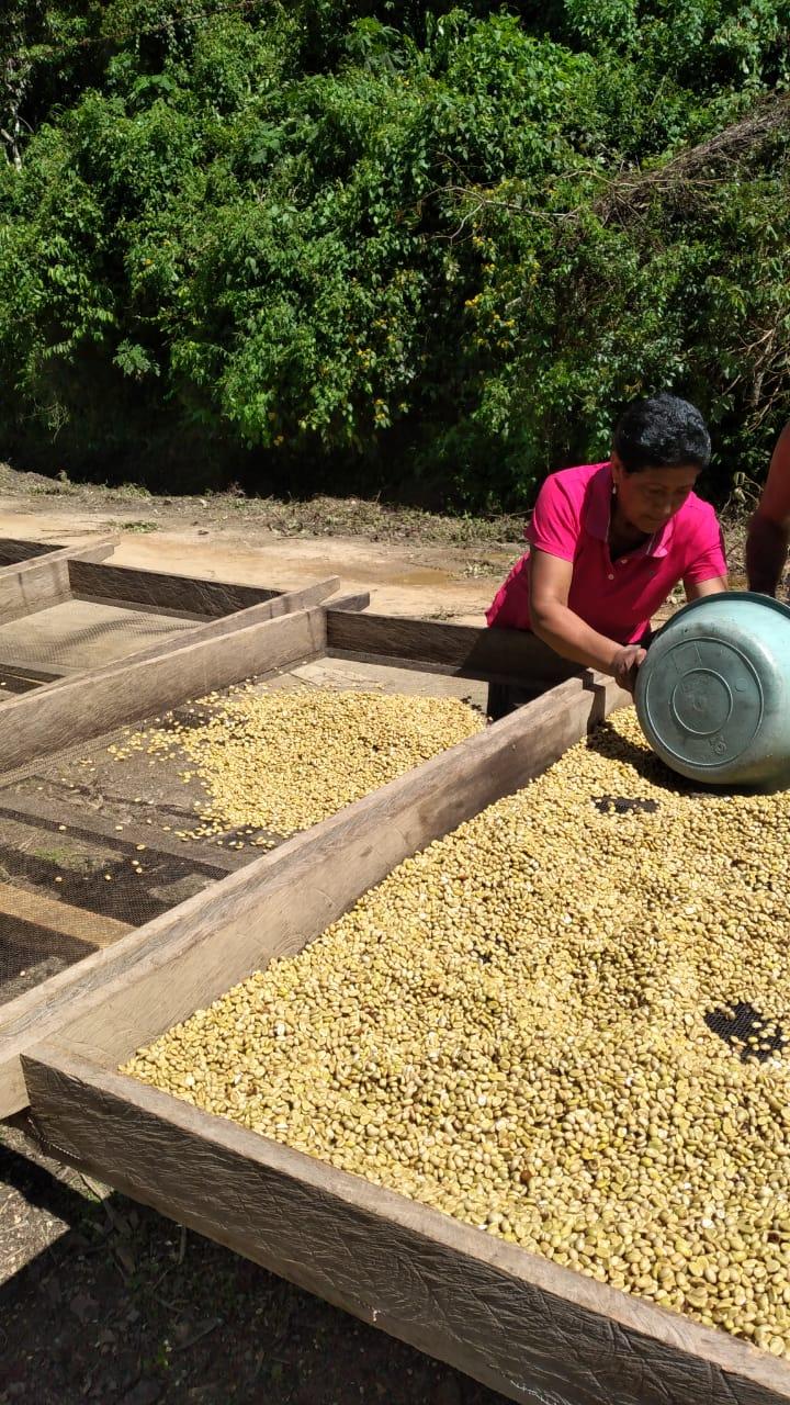 Avanza cosecha cafetalera en San Juan de Río Coco Managua. Por Douglas Midence/Radio La Primerísima