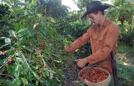 Avanza cosecha cafetalera en El Tuma-La Dalia Managua. Radio La Primerísima