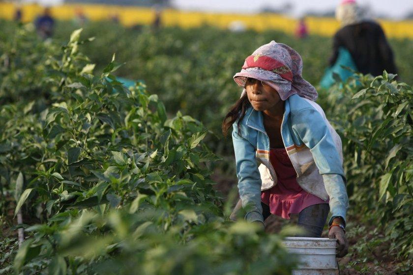 Avizoran buena producción en cosecha de apante Managua. Por Jaime Mejía/Radio La Primerísima