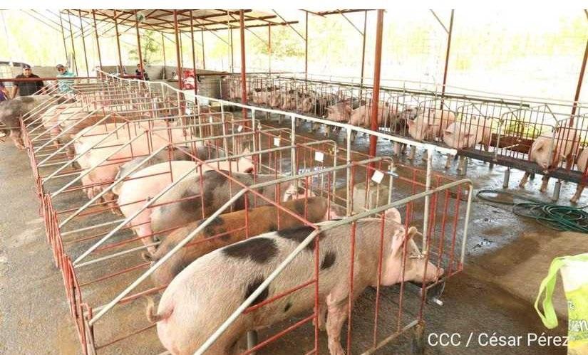 Lista nueva granja porcina en Juigalpa Managua. Por Jaime Mejía/Radio La Primerísima