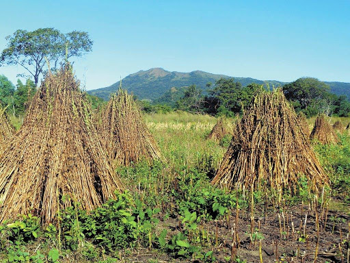 Cultivarán ajonjolí en Ometepe, Tipitapa y Masaya Managua. Radio La Primerísima