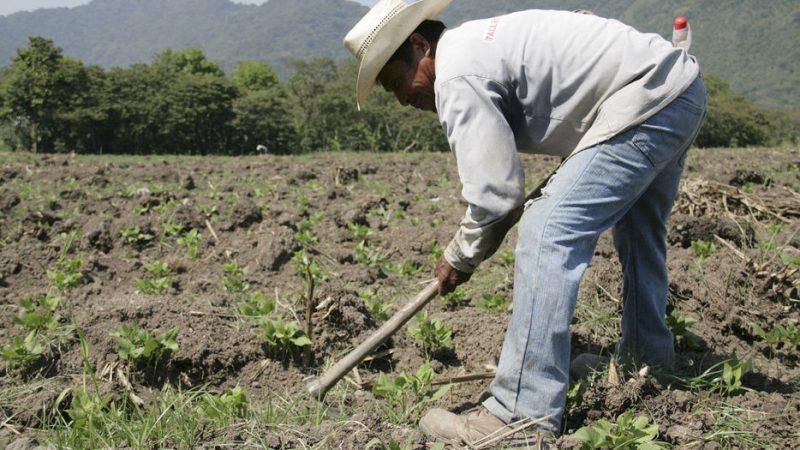 Estiman buena producción en ciclo de primera Managua. Por Jaime Mejía/Radio La Primerísima