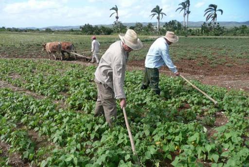 Producción de frijoles superará 1 millón 800 quintales Managua. Jaime Mejía/Radio La Primerísima