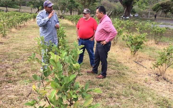 Emprendedor jinotegano sale adelante con cultivo de guayaba Managua. Radio La Primerísima