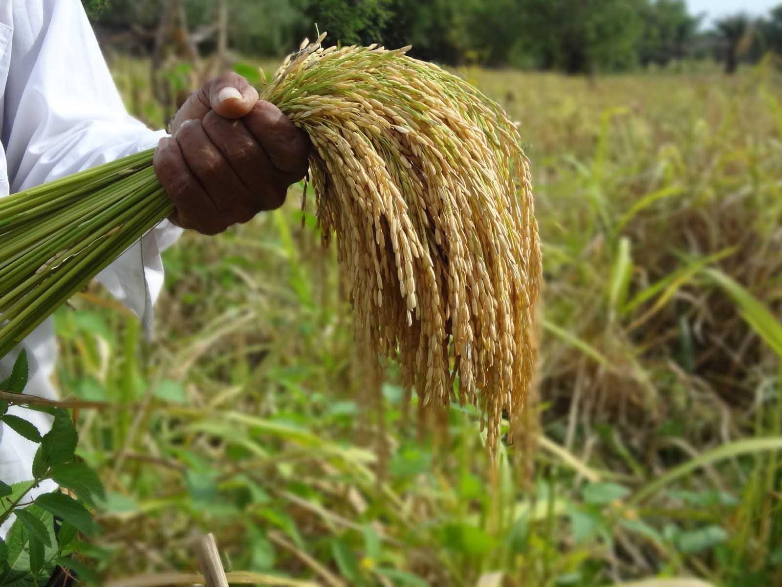 Aumenta producción de arroz Managua. Radio La Primerísima