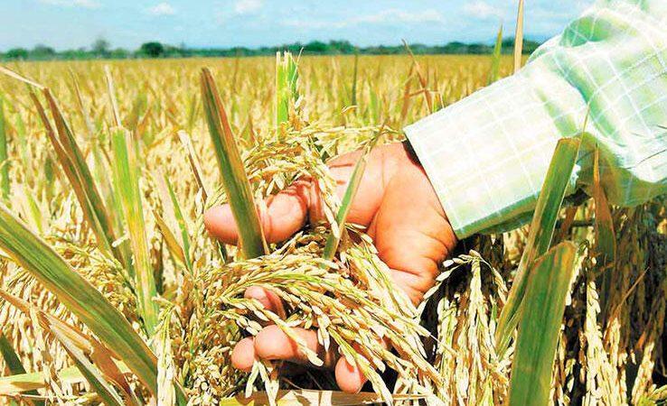 Hay suficiente arroz para cubrir demanda nacional Managua. Radio La Primerísima