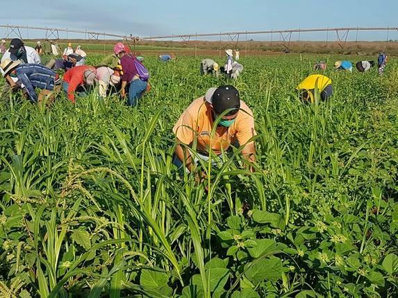 Prevén aumento del 5.2 en producción de granos básicos Managua. Por Libeth González/Radio La Primerísima
