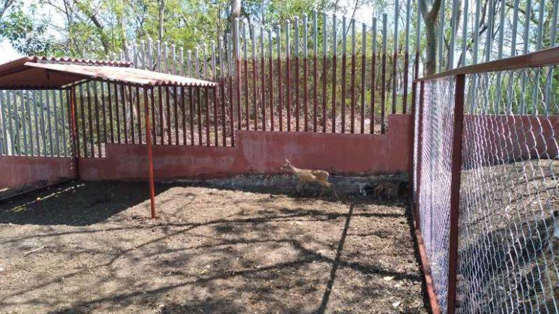 Inauguran zoocriadero para reproducir al venado cola blanca Managua. Radio La Primerísima
