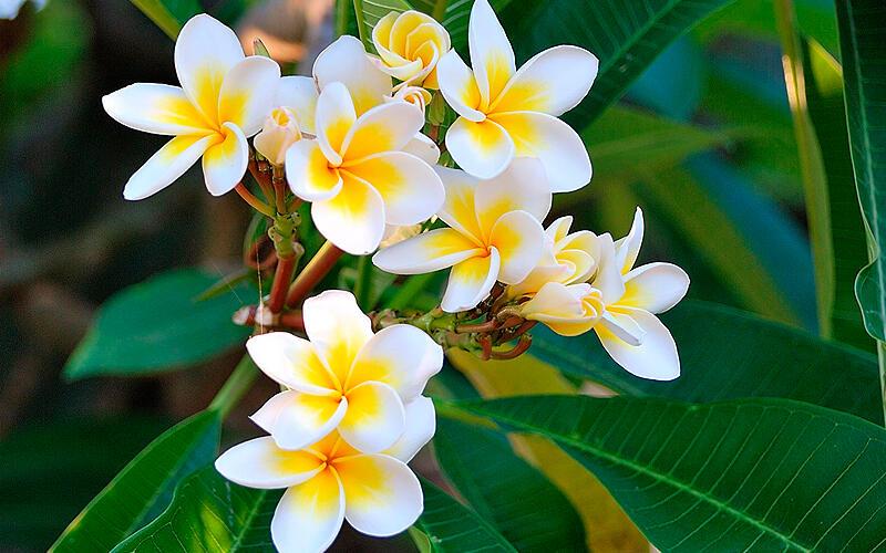 Árbol y Flor nacional se mostrarán en arboreto de Corea Managua. Radio La Primerísima