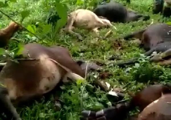 Rayo mata a 18 vacas en Río Blanco, Matagalpa Managua. Radio La Primerísima