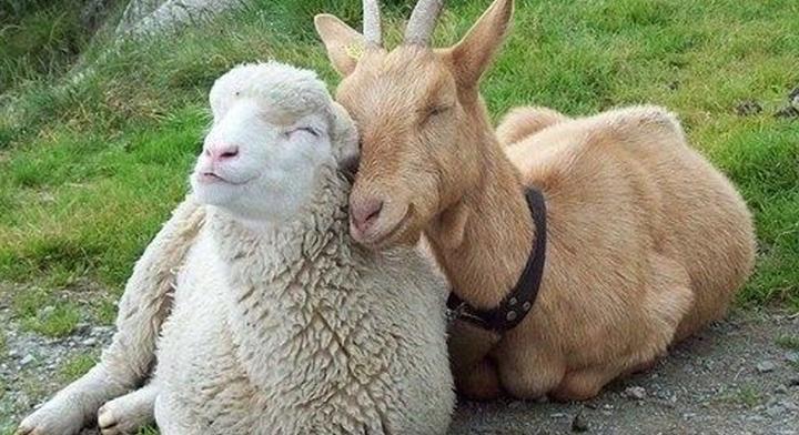 Impulsan plan para mejoramiento genético de ovinos y caprinos Managua. Radio La Primerísima