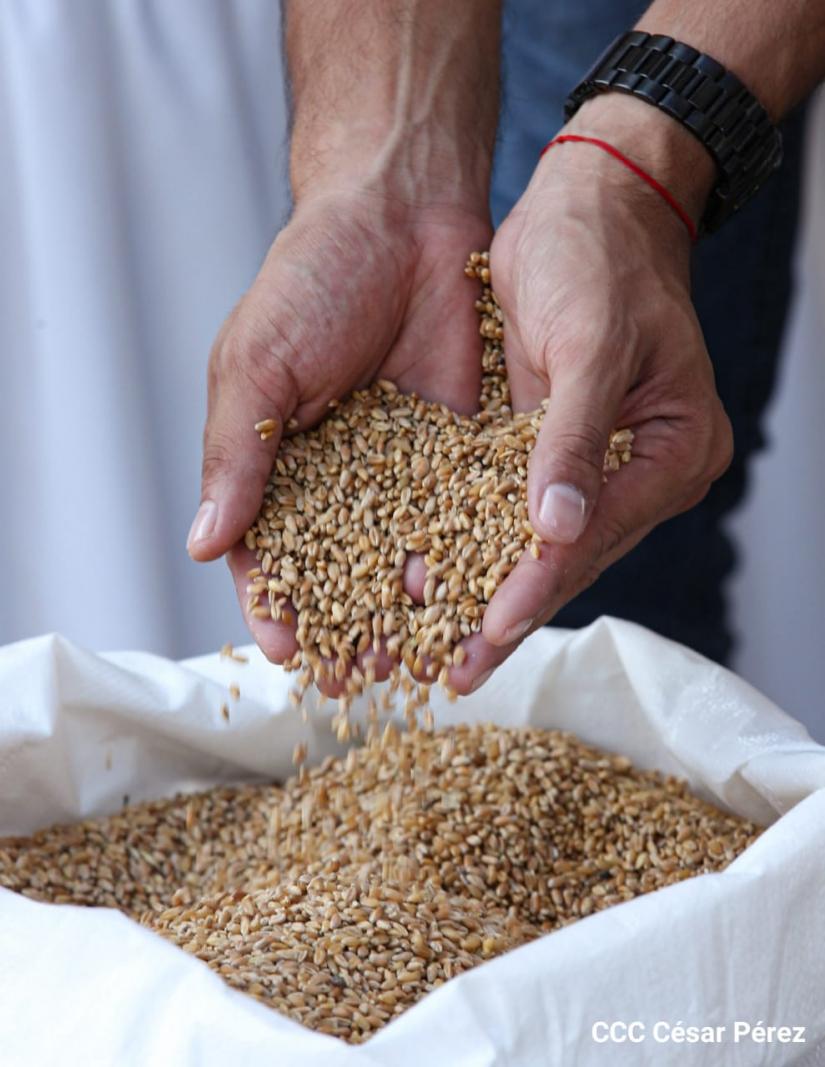 Desembarcan trigo donado por Rusia Managua. Radio La Primerísima